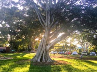 Image of large tree in park with sunlight filtering through